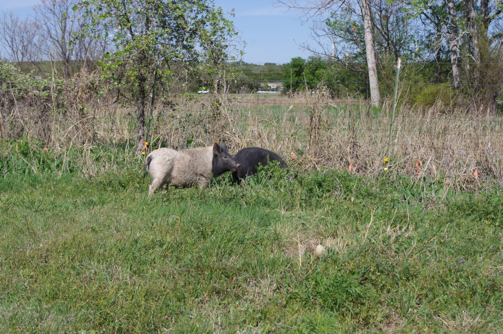 Pastured piggies